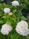 Rosier buisson White Jacques Cartier