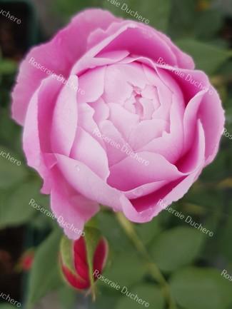 Shrub rose Reine Victoria