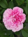 Rosier buisson Jacques Cartier