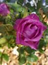 Rosier buisson création Purple Kid ®