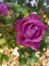 Shrub rose creation Purple Kid ®