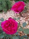 Shrub rose Eugene Boulet