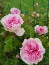 Climbing rose Papillon