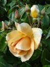 Climbing rose Crepuscule