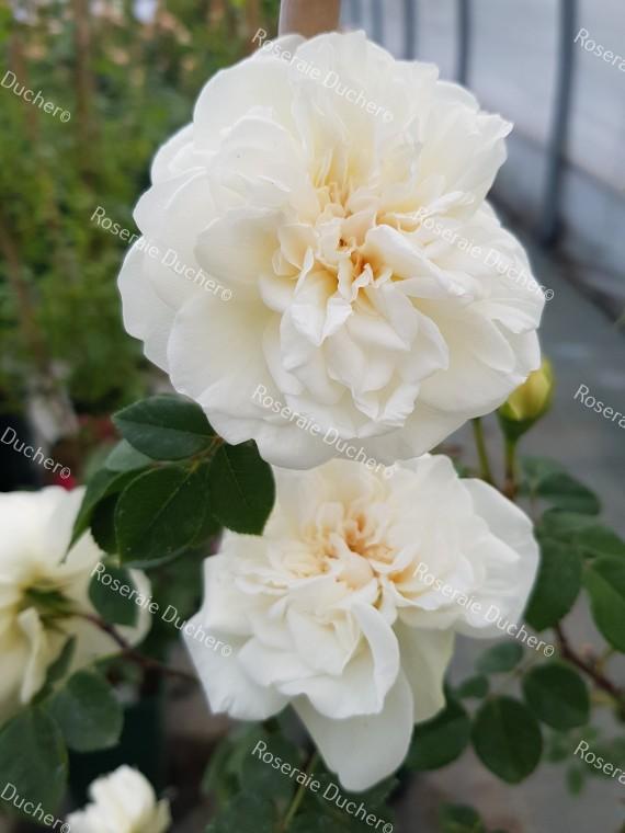 Climbing rose Sombreuil