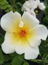 Shrub rose Golden Wings