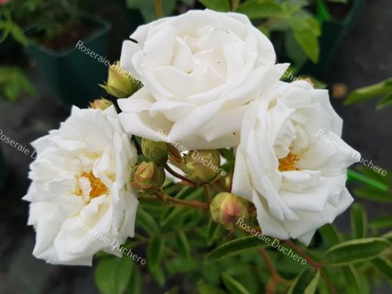 Shrub rose Yvonne Rabier
