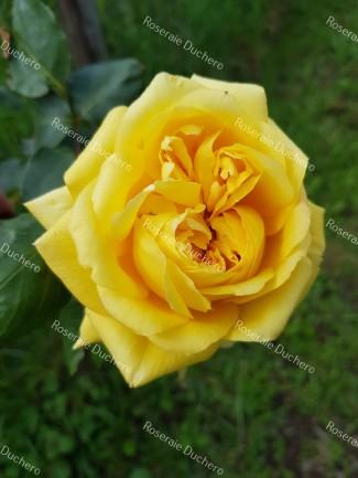 Climbing rose Souvenir de Claudius Pernet