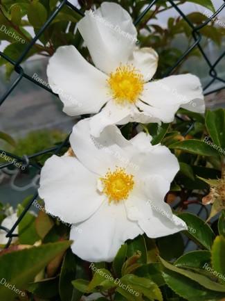 Rosier grimpant Laevigata / La rose des Cherokees