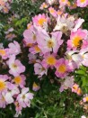 Rosier grimpant Rosa Multiflora Adenochaeta