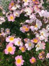 Climbing rose Rosa Multiflora Adenochaeta