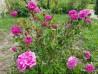 Shrub rose Boufarik