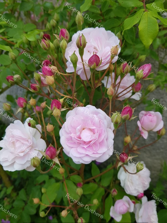 Climbing rose Blush Noisette