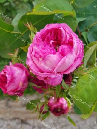Rosier buisson Yolande d'Aragon
