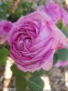 Shrub rose John Hopper