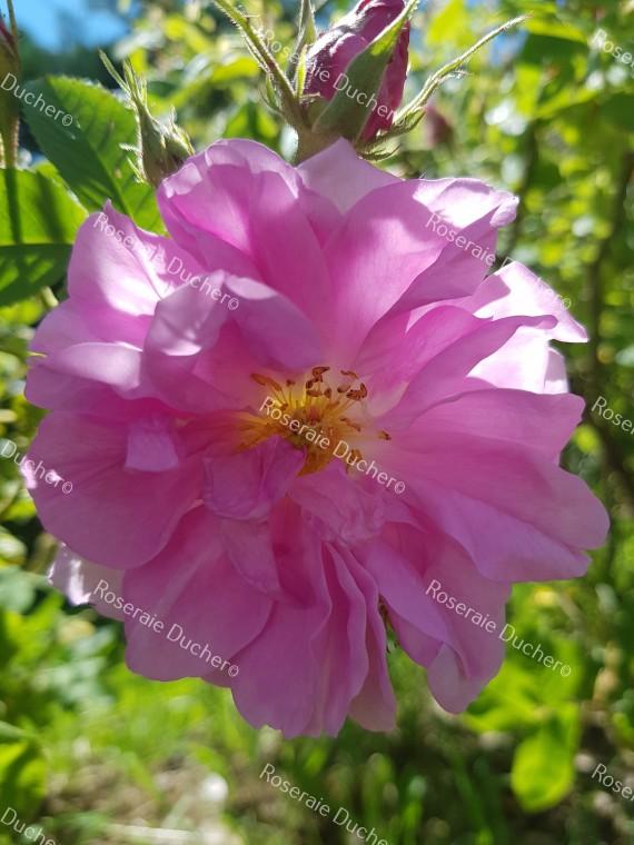 Shrub rose Rosa Kazanlick