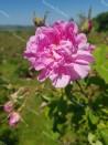 Rosier buisson Rosa Kazanlik