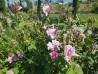 Shrub rose Rosa Damascena 4 Saisons