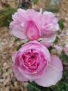 Shrub rose creation Jacques Truphemus ®