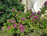 Shrub rose creation Purple Kid ®