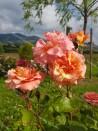 Rosier buisson Viniciacum ®