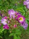 Climbing rose Veilchenblau