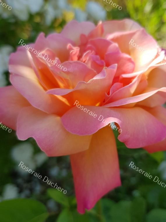 Shrub rose Chicago Peace