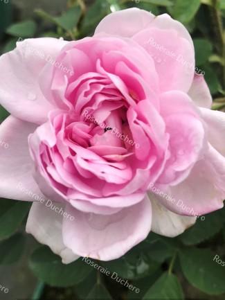 Shrub rose Soupert et Notting