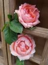 Shrub rose creation Josiane Pierre-Bissey ®