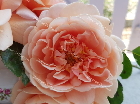 Shrub rose Louise Catherine Breslau
