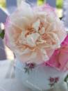 Shrub rose Madame de Tartas