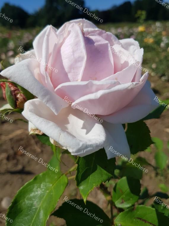 Shrub rose Clio