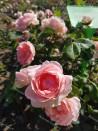 Rosier buisson création Josiane Pierre-Bissey ®