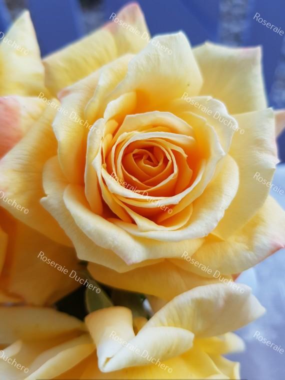 Shrub rose creation Renaissance de Flechere ®