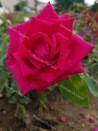 Shrub rose creation Ducher 1845 ®