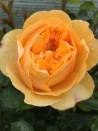 Rosier buisson création Rose de Bormes  ®