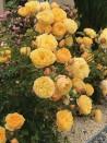 Shrub rose creation Rose de Bormes ®