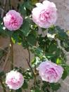 Climbing rose creation Florence Ducher ®
