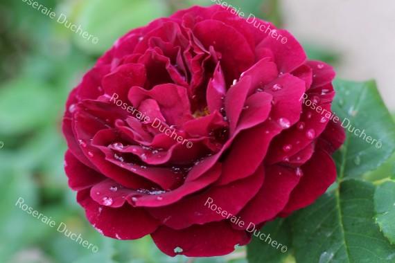 Shrub rose alfred colomb
