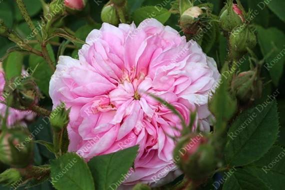 Shrub rose Alfred Collomb