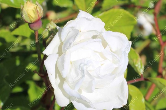 Shrub rose Yvonne Rabier