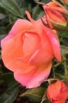 Rosier buisson création Belle de Menthon ®
