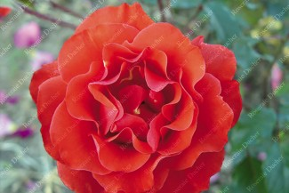 Shrub rose creation Frank Morgan's Sunset ®