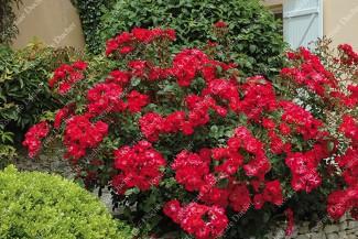 Shrub rose creation Millard de Martigny ®