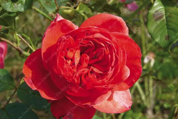 Shrub rose creation Stephane Bern ®