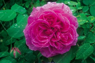 Climbing rose creation Hommage a Soupert et Notting ®