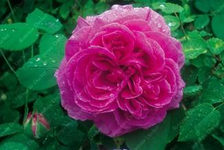 Climbing rose creation Hommage a Soupert et Notting ®