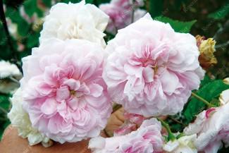 Climbing rose Belle Vichyssoise