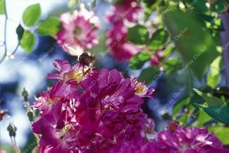 Climbing rose Blue Magenta