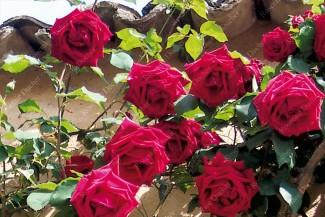 Climbing rose Chateau Clos Vougeot